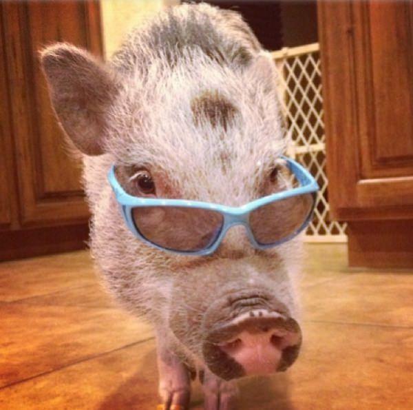 świnia Penny Popcorn gwiazda Instagramu