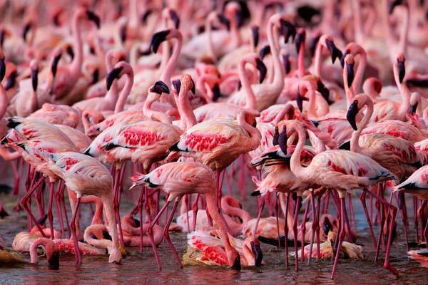 ogromna kolonia flamingów