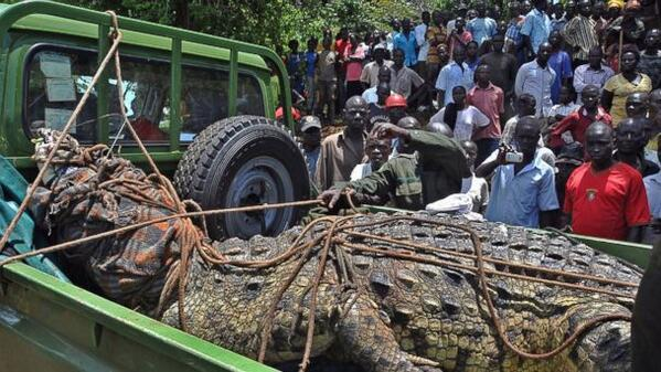 Ogromny krokodyl złapany w Ugandzie