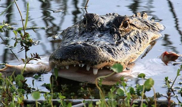 floryda krokodyle 2