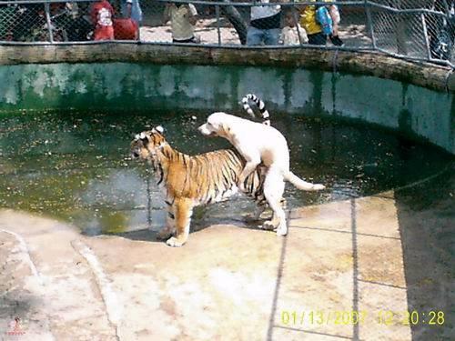 pies ujezdżający ygrysa