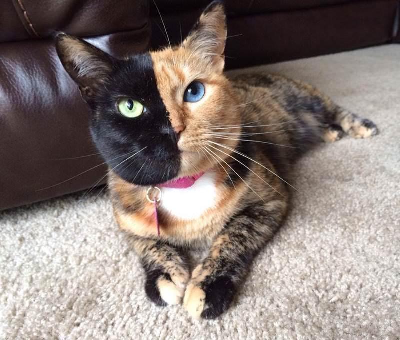 Venus niesamowity kot
