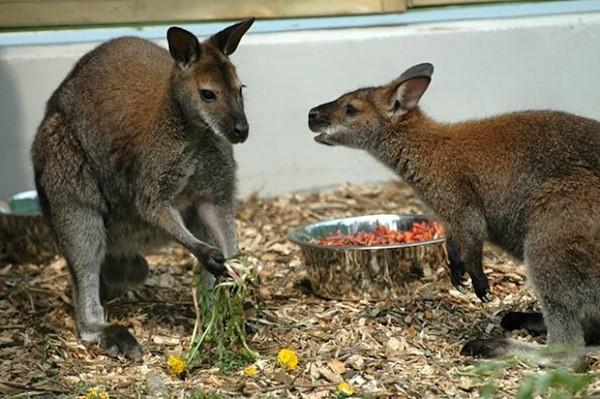 jedzace kangury