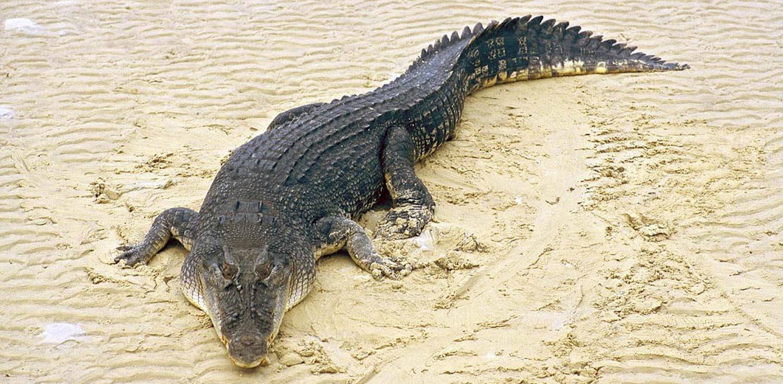 najgorniejsze zwierzeta aligator