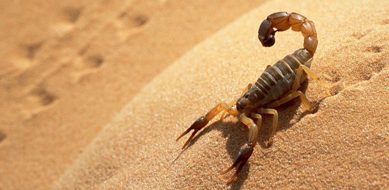 najgorniejsze zwierzeta skorpion