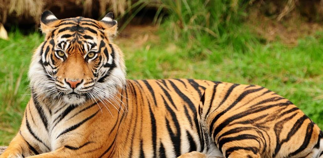 najgorniejsze zwierzeta tygrys