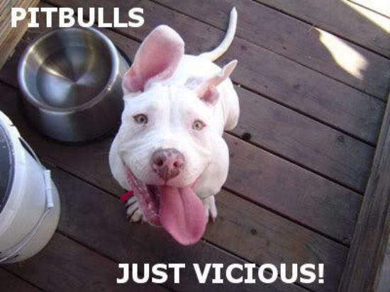 pitbulls-10