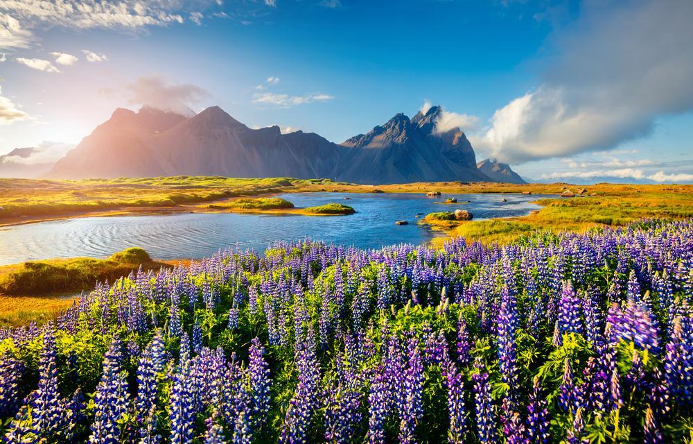 Kwitnące na Islandii kwiaty łubinu