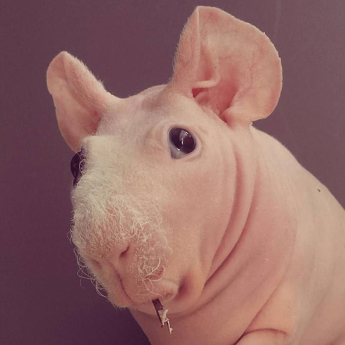 Ludwik świnka morska z Polski na Instagramie.