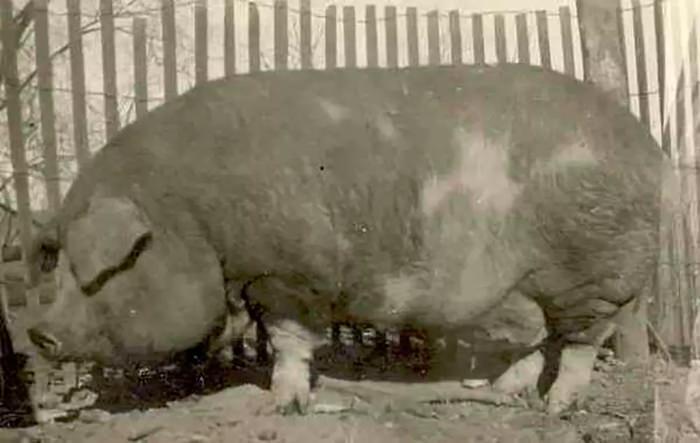 Big Bill - największa na świecie świnia