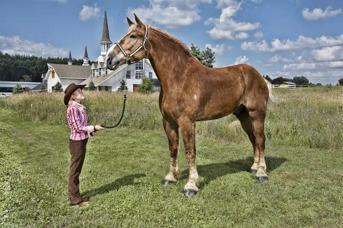 Big Jake - największy koń na świecie