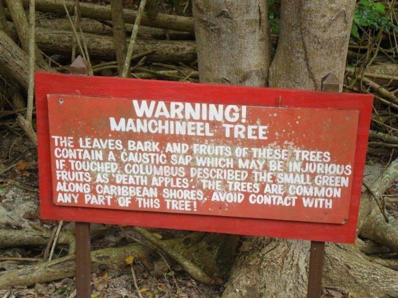 Drzewo Manchineel - najniebezpieczniejsze drzewo na świecie