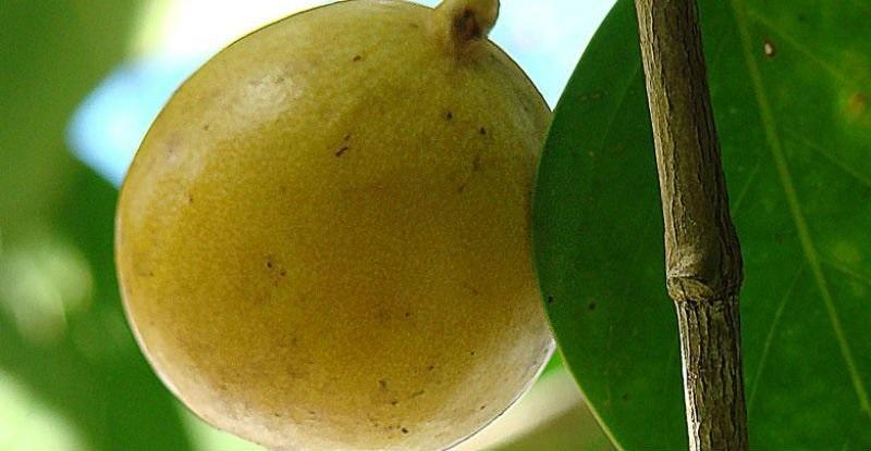 Drzewo Manchineel - owoc