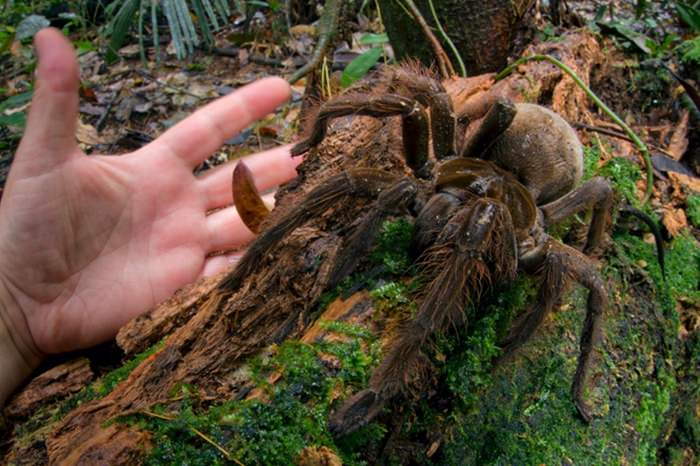 Ogromny pająk ptasznik Goliat
