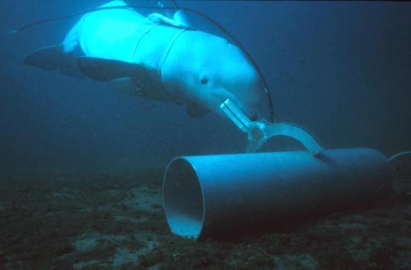 Żołnierze delfiny w USA