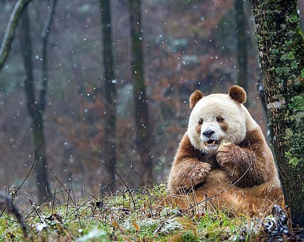 Brązowa Panda Qizai