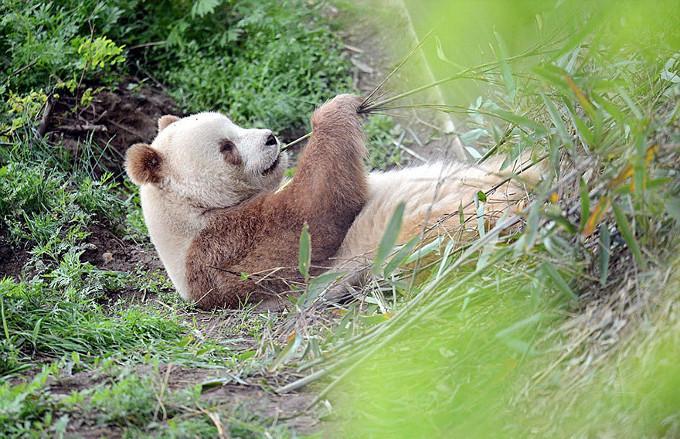 Brązowa Panda