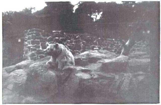 Niedźwiedź wojtek w zoo