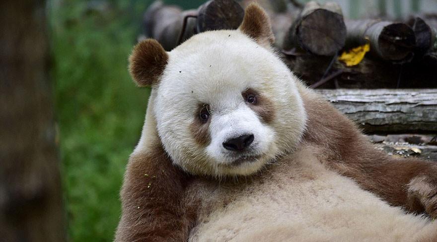Panda Qizai Brązowa