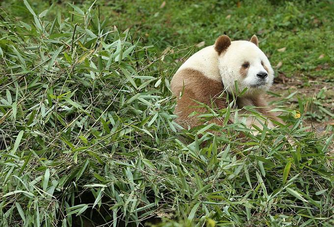Panda Qizai Brązowo-Biała