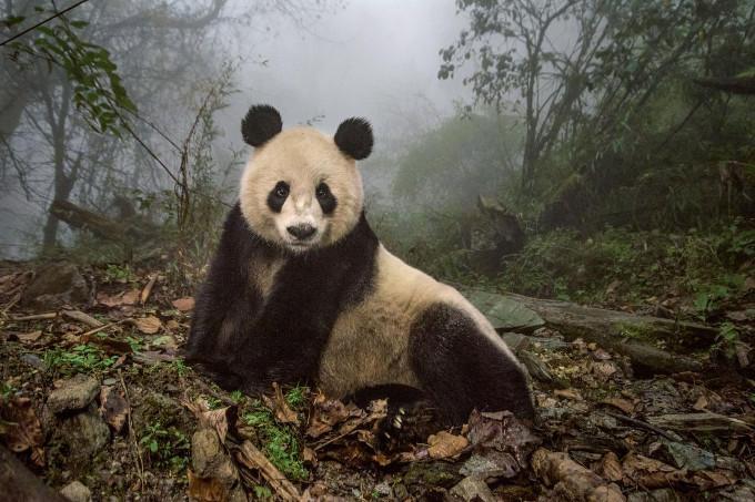 Panda YeYe