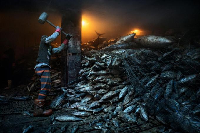 Rozładunek zamrożonych tuńczyków