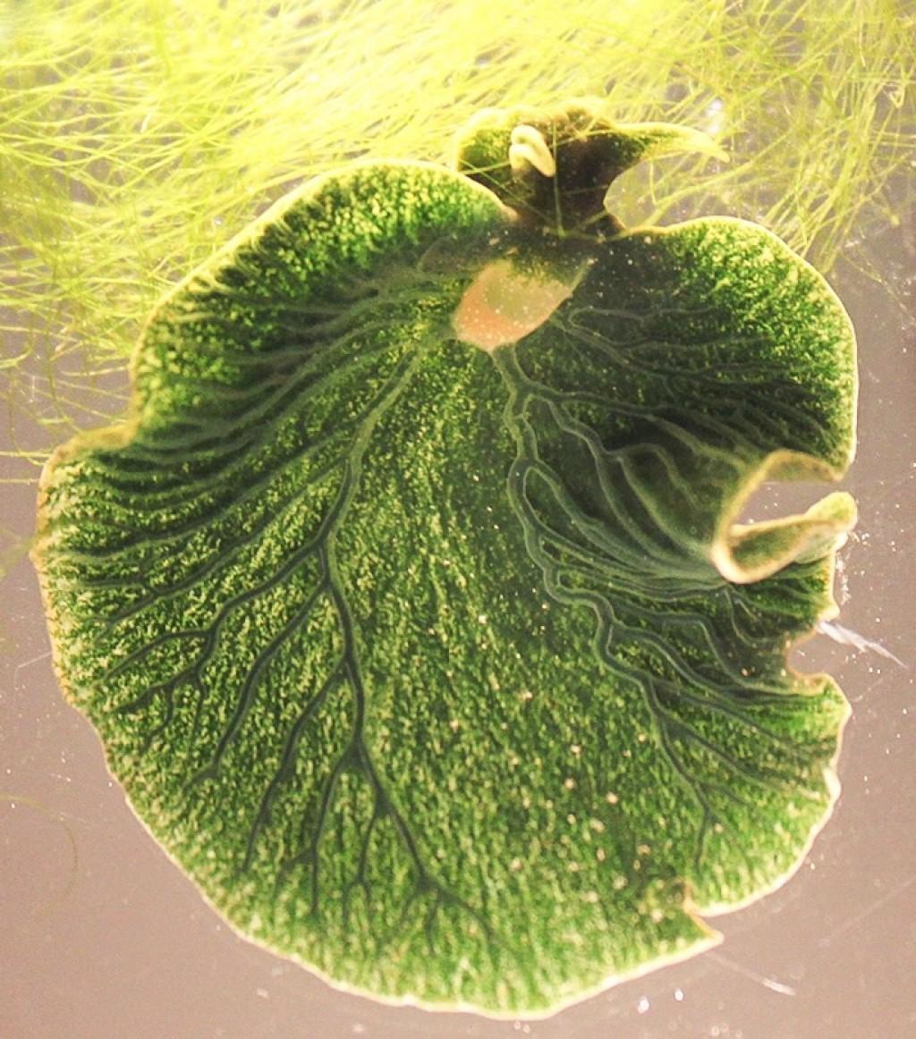 Elysia chlorotica albo Wschodnia elysia szmaragdowa