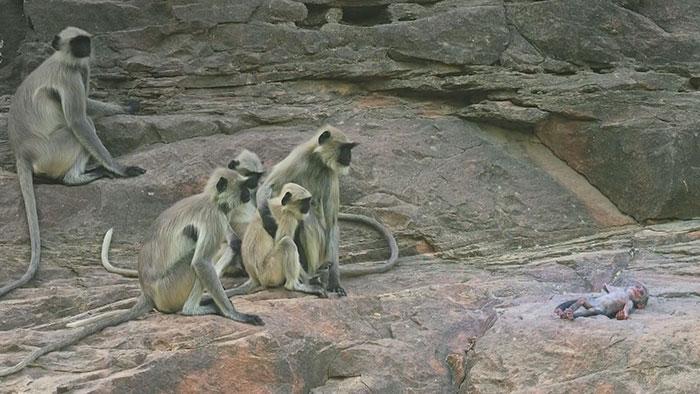 monkeys-mourn-dead-robot-spy-in-the-wild-3