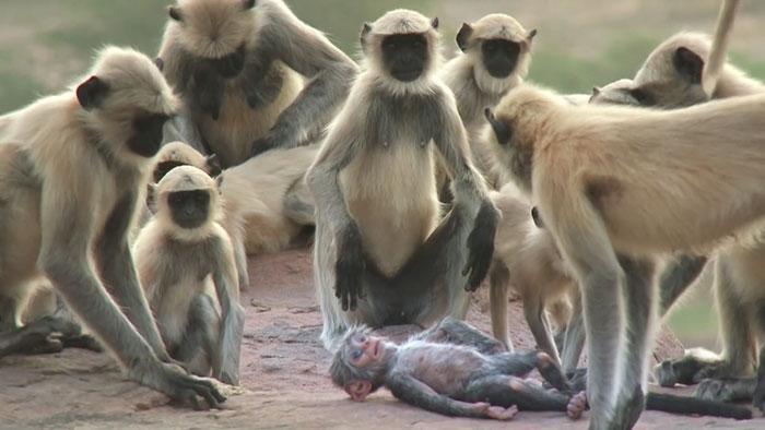 monkeys-mourn-dead-robot-spy-in-the-wild-8