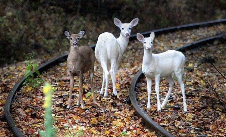 białe jelenie