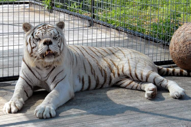 bialy tygrys kenny
