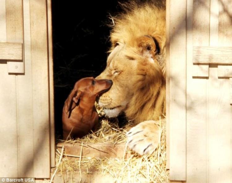 przyjaźń lwa i jamników