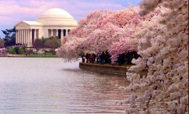 festiwal kwitnącej wiśni waszyngton