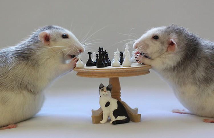 szczury grajace w szachy