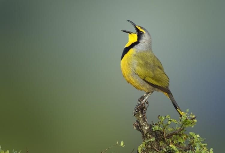 zolty spiewajacy ptak