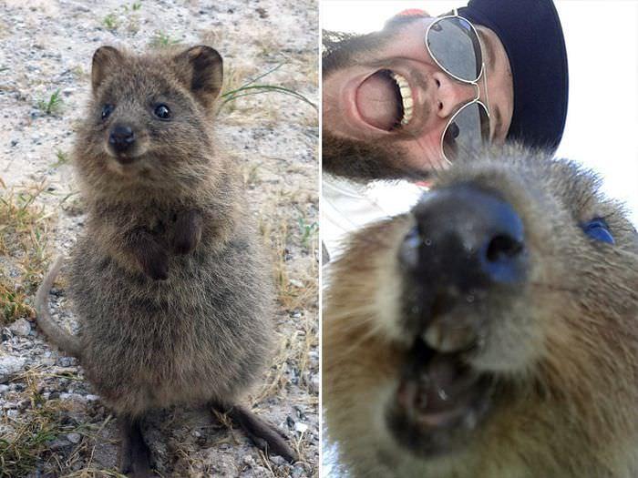 Kuoka - australijski kuzyn kangura