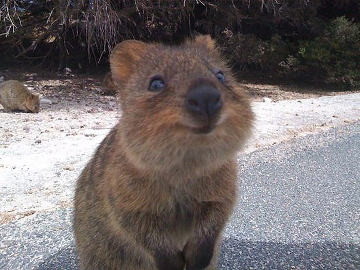 Kuoka zwierzę z Australii
