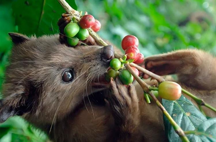 Kopi luwak - skąd wzięła się najdroższa kawa świata