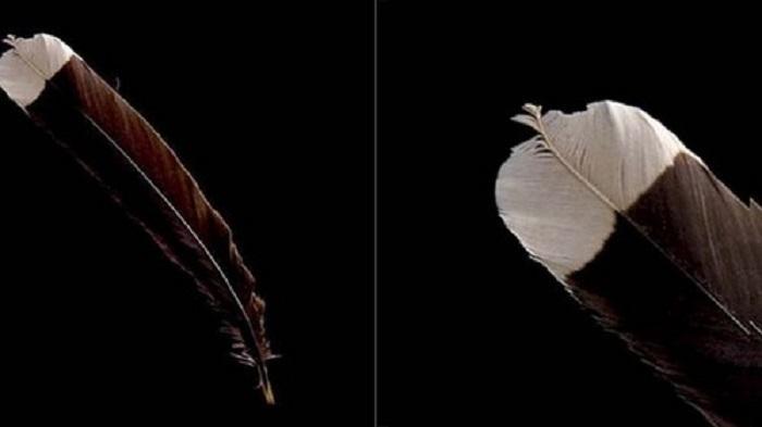 Pióro wymarłego ptaka Huia