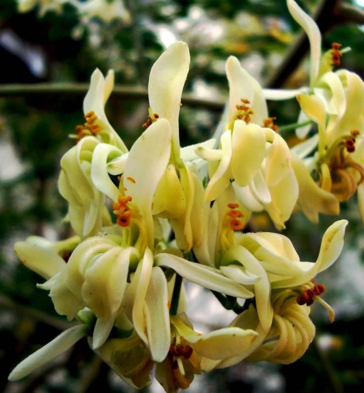 Moringa oleifera - kwiaty