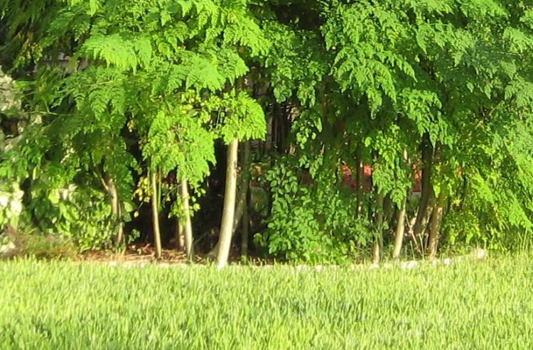 Drzewo Moringa