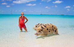 Pig Beach - plaża na Bahamach zamieszkana przez świnie