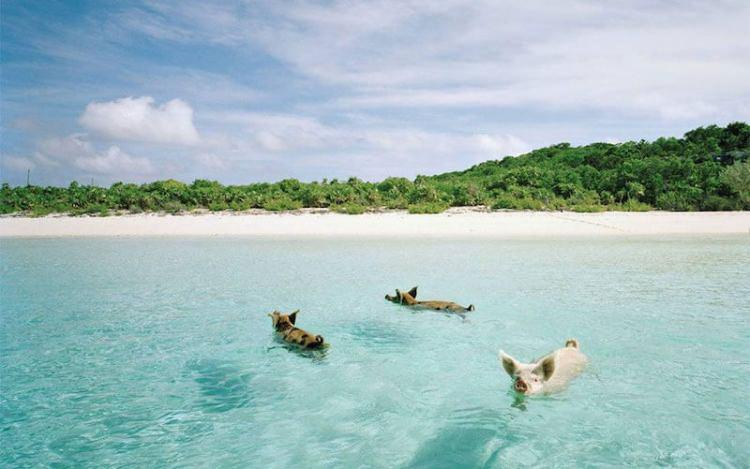 Pig Island - plaża na Bahamach, na której mieszkają świnie