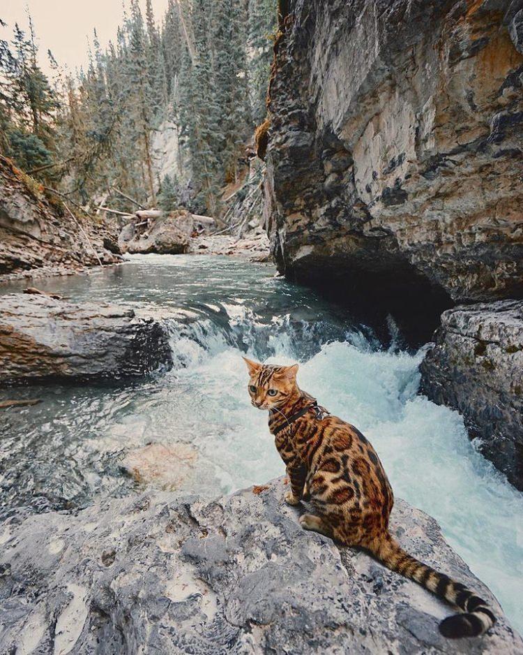 Suki - bengalski kot podróżnik, gwiazda Instagrama