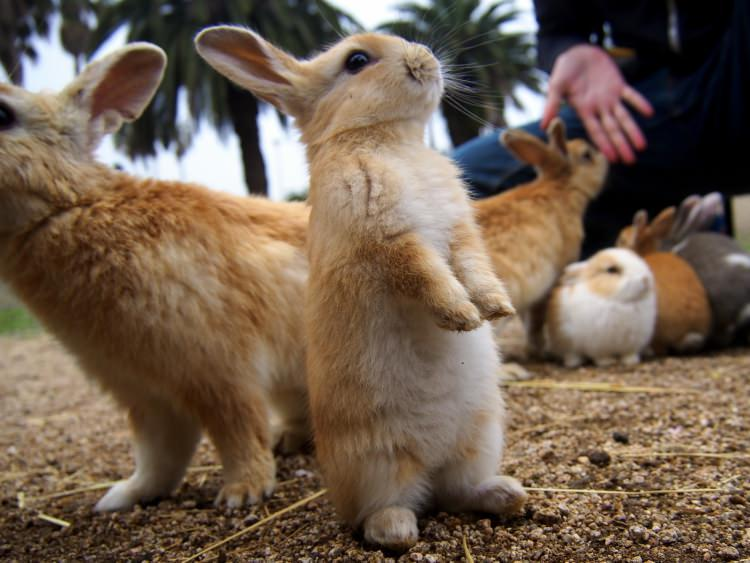 Okunoshima - wyspa królików