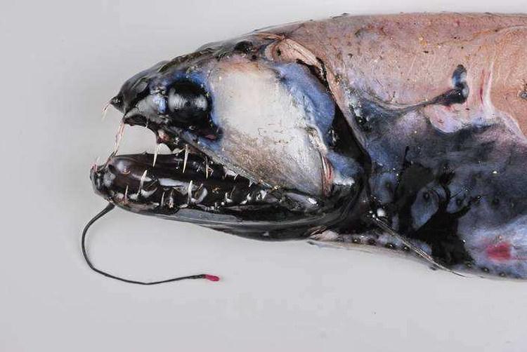 astronesthes ryba