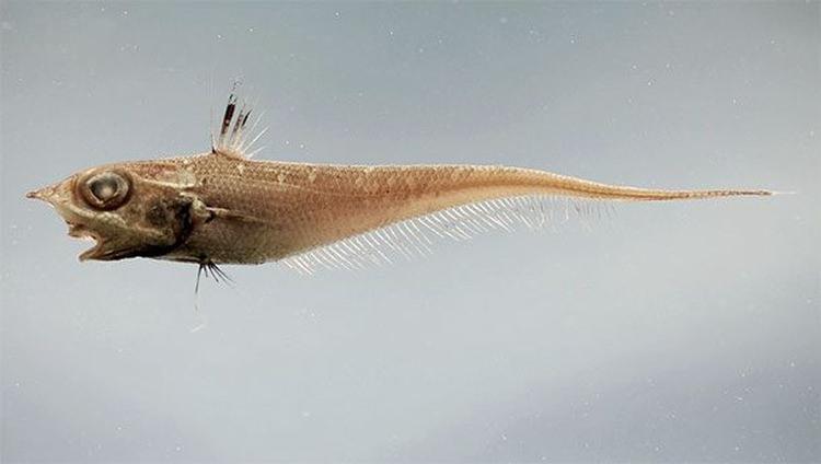 Buławik ryba