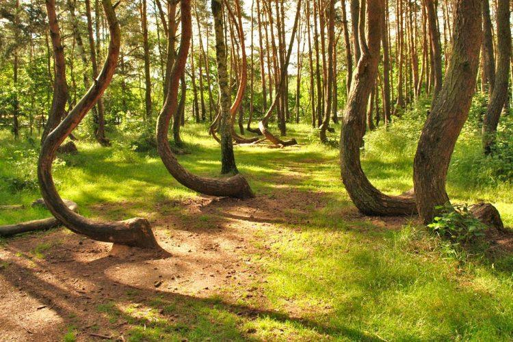 Krzywy Las niedaleko Gryfina