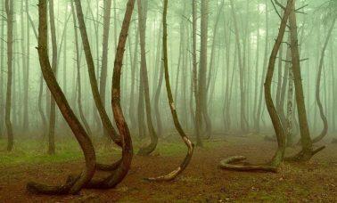 Krzywy Las w Polsce koło Gryfina