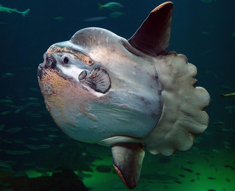 Ryba Samogłów
